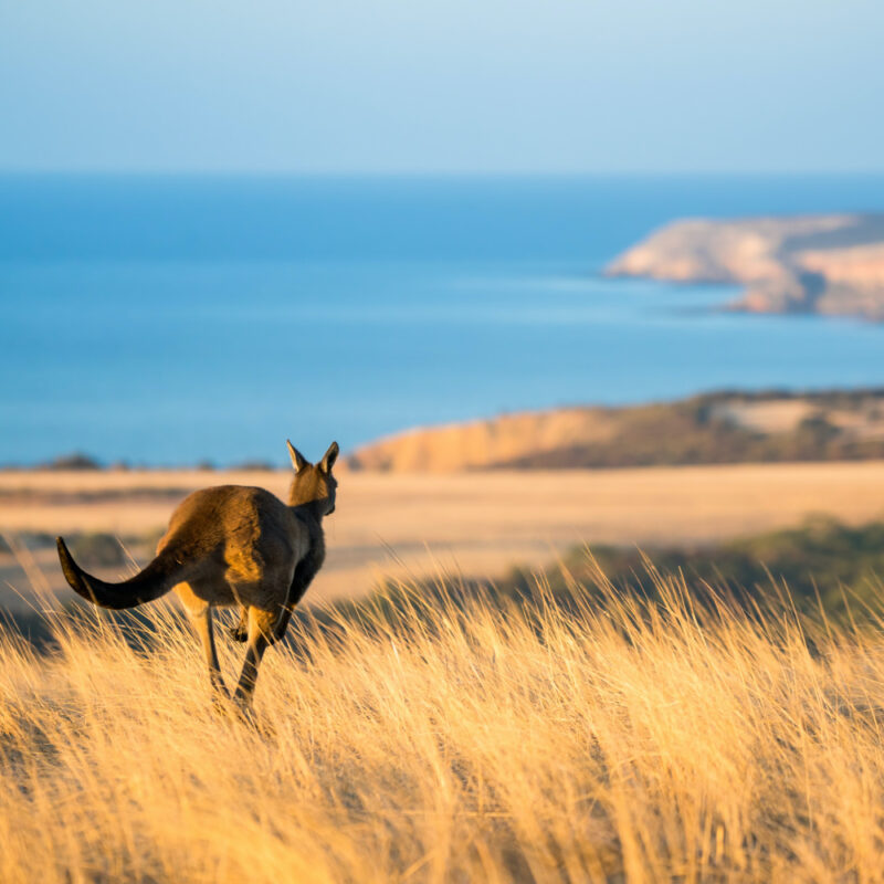 Kangaroo at Middle River Kangaroo Island