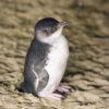 Penguin on Phillip Island