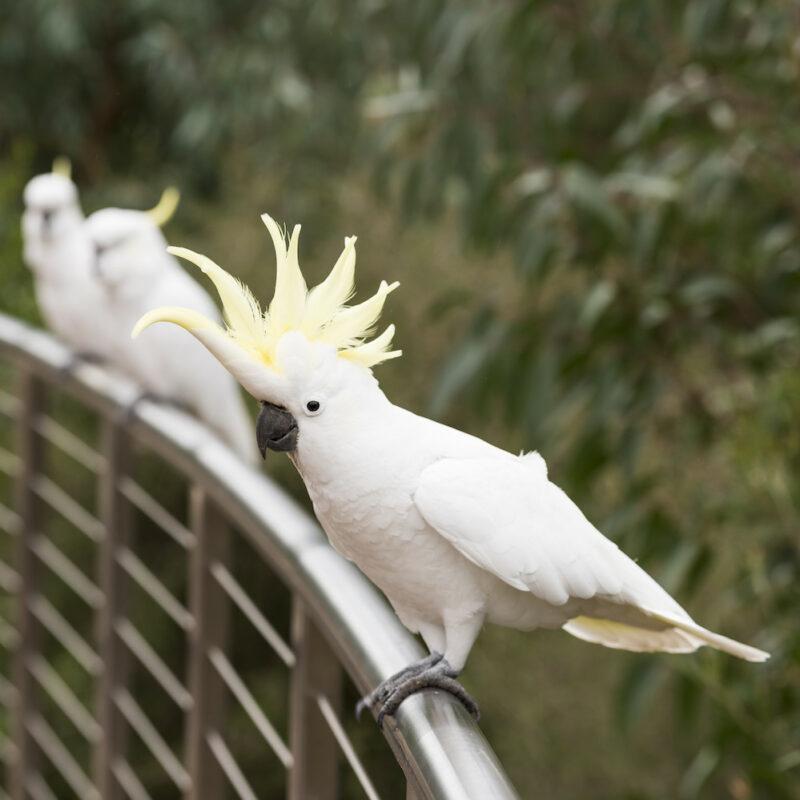 Cockatoos at Brambuk National Park and Cultural Centre, Halls Gap, VIC