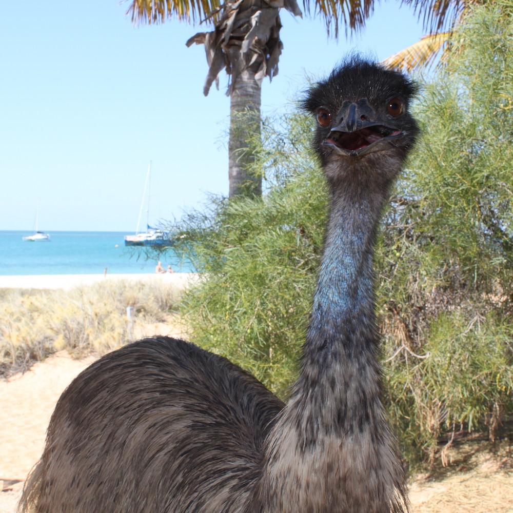 Emu at Monkey Mia