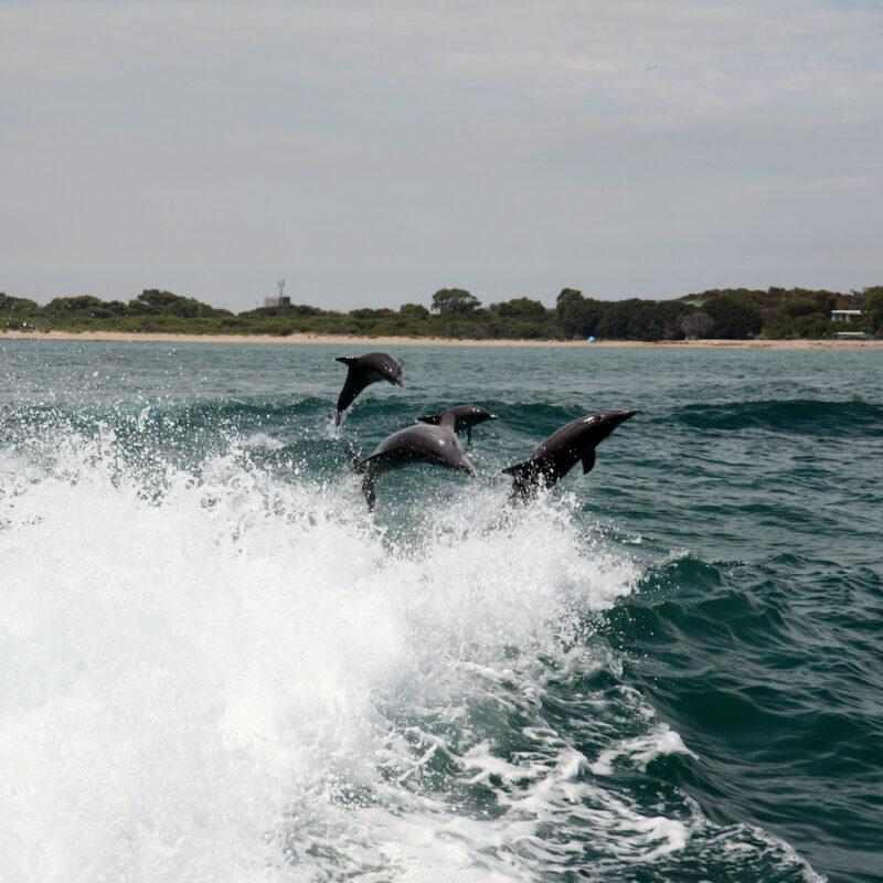 Dolphins at Rockingham, Western Australia