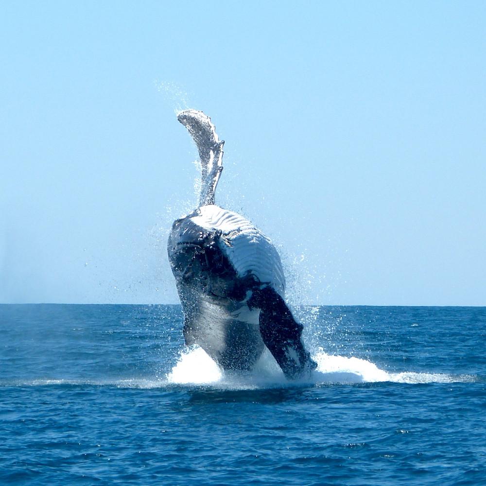 Humpback Whale Breaching, Ningaloo Marine Park