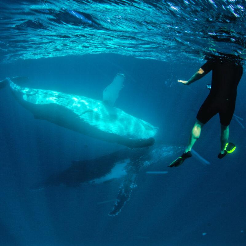 Humpback Whale, Ningaloo Marine Park