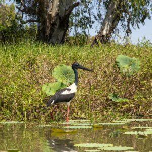 Jabiru in Kakadu Northern Territory